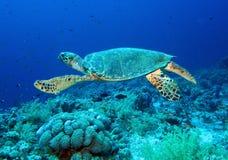 Χελώνα πράσινης θάλασσας Στοκ φωτογραφία με δικαίωμα ελεύθερης χρήσης