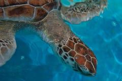 χελώνα πράσινης θάλασσας Στοκ Φωτογραφίες