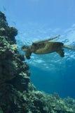 χελώνα πράσινης θάλασσας Στοκ Φωτογραφία