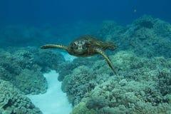 χελώνα πράσινης θάλασσας Στοκ Εικόνα