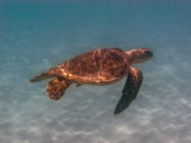 Χελώνα πράσινης θάλασσας, mydas Chelonia Στοκ εικόνα με δικαίωμα ελεύθερης χρήσης