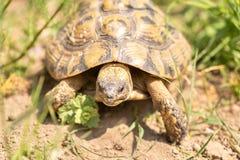 Χελώνα στη φύση στοκ εικόνες με δικαίωμα ελεύθερης χρήσης
