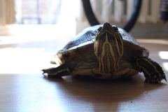 Χελώνα στο επίπεδο στοκ φωτογραφία με δικαίωμα ελεύθερης χρήσης