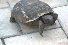 Χελώνα στο κεραμίδι Στοκ φωτογραφία με δικαίωμα ελεύθερης χρήσης