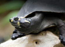 Χελώνα της Αμαζώνας Στοκ εικόνα με δικαίωμα ελεύθερης χρήσης