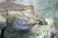 Χελώνα της Φλώριδας στοκ φωτογραφία