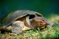 χελώνα της Φλώριδας softshell Στοκ Εικόνες