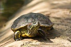 χελώνα χλόης Στοκ εικόνα με δικαίωμα ελεύθερης χρήσης