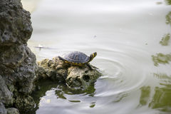 Χελώνα ύδατος Στοκ Εικόνες