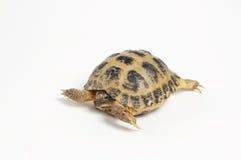 χελώνα στοκ εικόνα με δικαίωμα ελεύθερης χρήσης