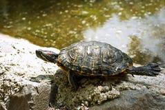 χελώνα Στοκ εικόνες με δικαίωμα ελεύθερης χρήσης