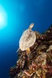 Χελώνα Hawksbill και τροπικός σκόπελος στη Ερυθρά Θάλασσα. Στοκ Φωτογραφίες