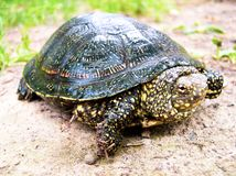 Χελώνα Karakum εδάφους στο έδαφος στοκ εικόνες