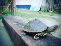Χελώνα Ninja στοκ εικόνα με δικαίωμα ελεύθερης χρήσης