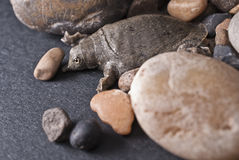 Χελώνα Softshell Στοκ Εικόνα