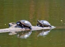 χελώνες ήλιων Στοκ Φωτογραφίες