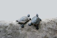 χελώνες δύο Στοκ Φωτογραφίες