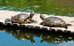 χελώνες δύο στοκ φωτογραφίες με δικαίωμα ελεύθερης χρήσης