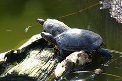 χελώνες κούτσουρων Στοκ εικόνες με δικαίωμα ελεύθερης χρήσης