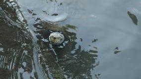 Χελώνες λιμνών που επιπλέουν για να ποτίσει την επιφάνεια στην άκρη ψηφοφορίας απόθεμα βίντεο
