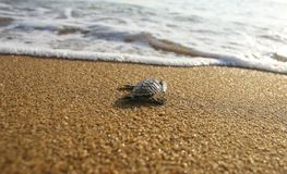 Χελώνες μωρών Στοκ φωτογραφίες με δικαίωμα ελεύθερης χρήσης