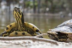 Χελώνες νερού Στοκ φωτογραφία με δικαίωμα ελεύθερης χρήσης