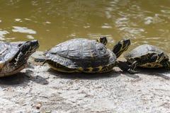 Χελώνες νερού Στοκ Φωτογραφία