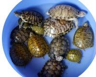 χελώνες ομάδας Στοκ εικόνα με δικαίωμα ελεύθερης χρήσης