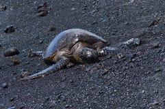 Χελώνες σε μια μαύρη παραλία άμμου στη Χαβάη στοκ φωτογραφίες