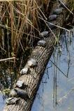 Χελώνες στη σειρά στοκ φωτογραφία με δικαίωμα ελεύθερης χρήσης
