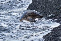 Χελώνες υγρές θαλασσίως σε μια μαύρη παραλία άμμου στη Χαβάη στοκ εικόνα