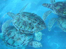 χελώνες Στοκ φωτογραφία με δικαίωμα ελεύθερης χρήσης