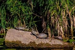 χελώνες στοκ φωτογραφία