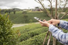 Χεριών τηλέφωνο και αφή λαβής έξυπνο στην οθόνη στο αγρόκτημα τσαγιού Επιχείρηση ελεύθερη απεικόνιση δικαιώματος