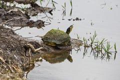 Χελώνα λάσπης Στοκ εικόνες με δικαίωμα ελεύθερης χρήσης