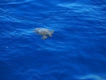 Χελώνα Αζόρες θάλασσας Στοκ εικόνα με δικαίωμα ελεύθερης χρήσης