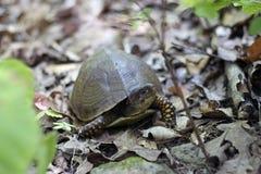 Χελώνα ανοίξεων Ritter Στοκ Εικόνα