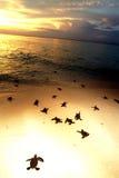 Χελώνα θάλασσας μωρών που σέρνεται στη θάλασσα κατά τη διάρκεια του ηλιοβασιλέματος, νησί Sipadan, Sabah Στοκ εικόνα με δικαίωμα ελεύθερης χρήσης