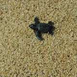 Χελώνα θάλασσας μωρών Στοκ Εικόνα