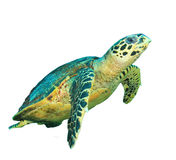 Χελώνα θάλασσας που απομονώνεται Στοκ εικόνες με δικαίωμα ελεύθερης χρήσης