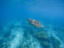 Χελώνα θάλασσας που βουτά στο βαθιά μπλε νερό Πράσινη χελώνα στο θαλάσσιο νερό Στοκ φωτογραφίες με δικαίωμα ελεύθερης χρήσης