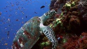 Χελώνα θάλασσας που τρώει το κοράλλι στην κλίση σκοπέλων στη θάλασσα απόθεμα βίντεο