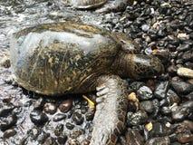 Χελώνα θάλασσας στους βράχους Στοκ Φωτογραφία