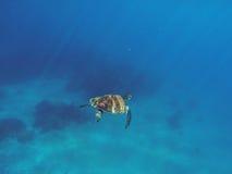 Χελώνα θάλασσας στο μπλε ύδωρ Πράσινη χελώνα που κολυμπά στη βαθιά μπλε θάλασσα Στοκ φωτογραφία με δικαίωμα ελεύθερης χρήσης