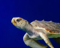 Χελώνα 2 θάλασσας Στοκ Φωτογραφία