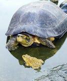 Χελώνα και βάτραχος Στοκ εικόνα με δικαίωμα ελεύθερης χρήσης