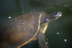 Χελώνα κοντών λαιμών Στοκ φωτογραφία με δικαίωμα ελεύθερης χρήσης