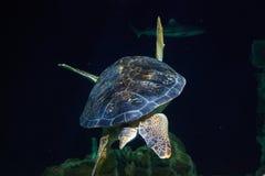 Χελώνα οπισθοσκόπος Στοκ Εικόνες