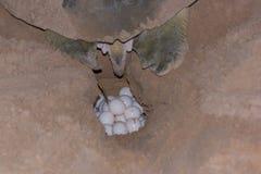 Χελώνα που γεννά τα αυγά στο γυμνό νησί άμμου, Αυστραλία Στοκ Εικόνες
