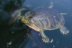 Χελώνα που κρεμά έξω Στοκ φωτογραφία με δικαίωμα ελεύθερης χρήσης